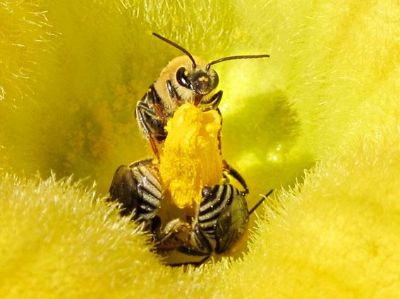abeilles_courge